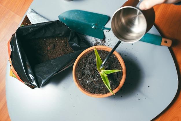Zdjęcie świeżej rośliny posadzonej w doniczce i podlewanej