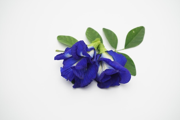 Zdjęcie świeżych kwiatów groszku używanych do herbaty.
