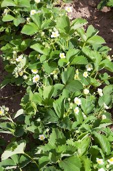 Zdjęcie z rzędu truskawek podczas kwitnienia i wzrostu wiosną na polu uprawnym