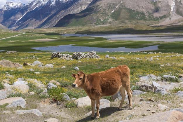 Zdrowa krowa w pięknym krajobrazie indii