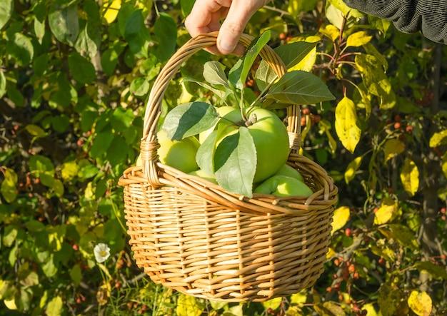 Zdrowe ekologiczne zielone jabłka w koszu z liści jesienią. żniwny