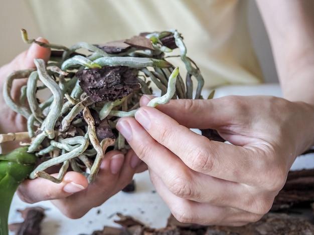 Zdrowe korzenie storczyków