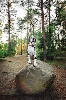 Zdrowy smukły pies dalmatyńczyk leżący na leśnej polanie