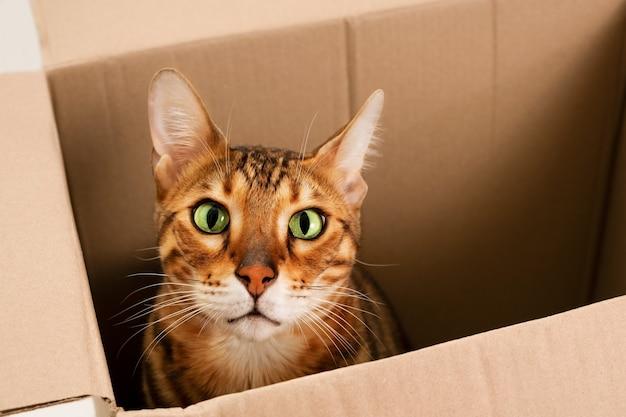 Zdumiony, z otwartymi oczami, zabawny, piękny, ładny rudy kot rasowy bengalski, zagraj, ukryj się w kartonowym pudełku, patrząc na kamerę. zabawny zwierzak lub przeprowadzka do nowego domu lub koncepcji bezdomnych zwierząt.