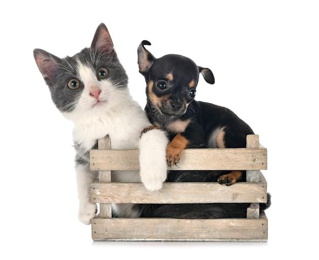 Zdziczały kot i chihuahua na białym tle