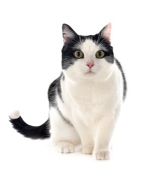 Zdziczały kot na białym tle