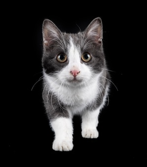 Zdziczały kot przed czarnym tłem