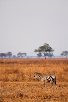 Zebra afrykańska stoi na suchej sawannie, mikumi, tanzania