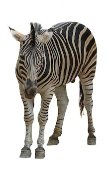 Zebra burchell na białym tle