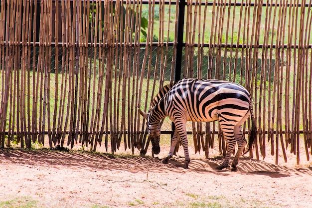 Zebra idzie wzdłuż wysokiego ogrodzenia.