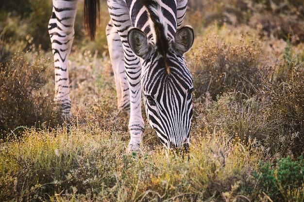Zebra je trawy w addo parku narodowym, południowa afryka