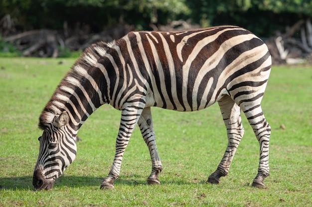 Zebra je zieloną trawę. park safari.