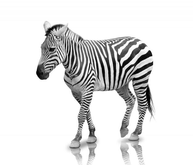 Zebra na białym tle na białym tle