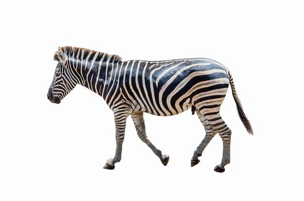 Zebra na białym tle