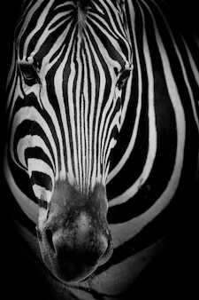 Zebra na ciemnym tle