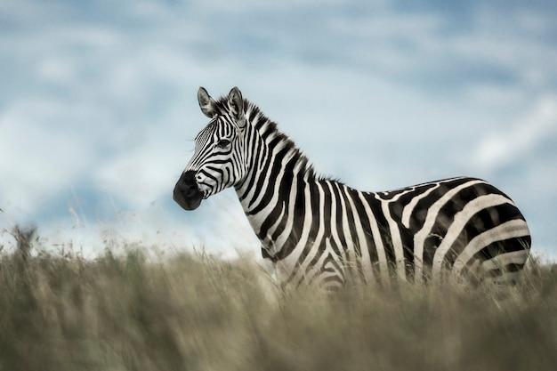 Zebra na dzikiej sawannie, serengeti, afryka