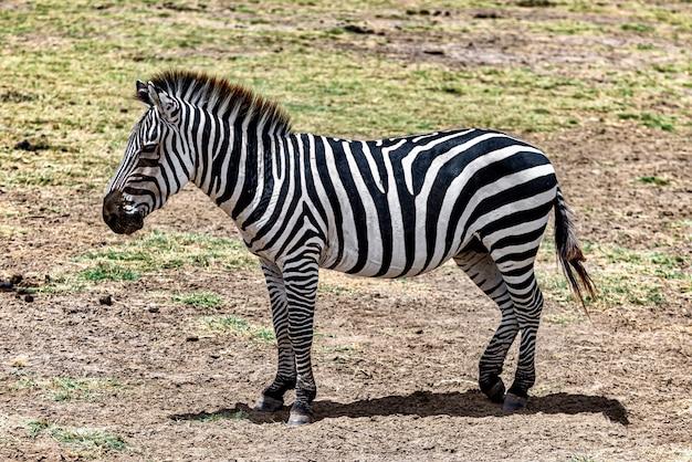 Zebra na łące otoczonej zielenią pod słońcem