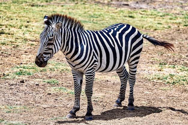 Zebra na łące otoczonej zielenią w słońcu z rozmytym tłem