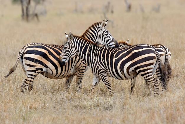 Zebra na łące w afryce, park narodowy kenii