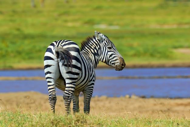 Zebra na łące w afryce