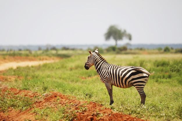 Zebra na łące w parku narodowym tsavo east, kenia, afryka