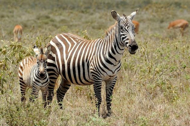 Zebra na murawach parku narodowego. afryka, kenia