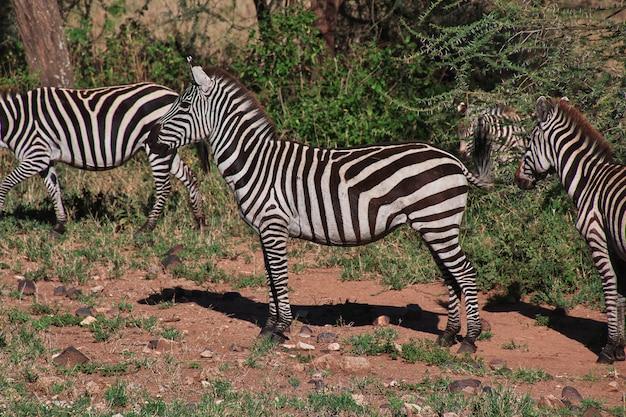 Zebra na safari w kenii i tanzanii w afryce