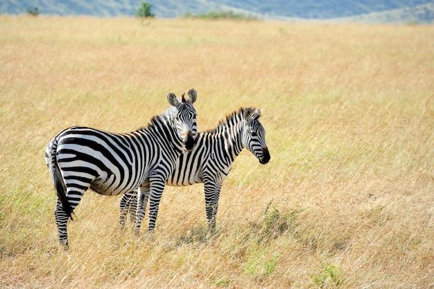 Zebra na użytkach zielonych w afryce, park narodowy kenii