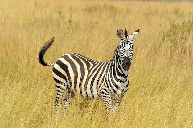 Zebra na użytkach zielonych w afryce