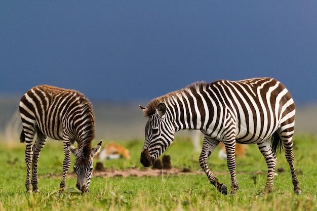 Zebra na wolności