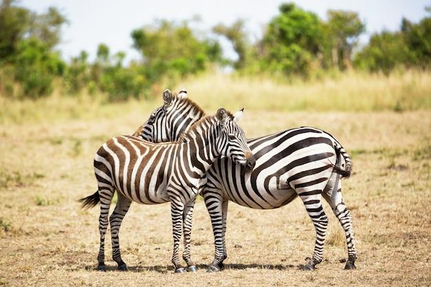 Zebra para w afrykańskiej sawannie. park narodowy masai mara, kenia