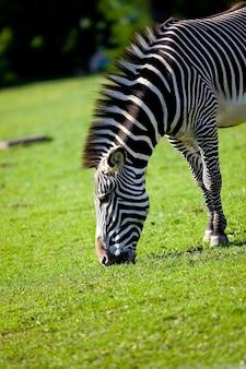 Zebra paszy na trawie w parku zoo