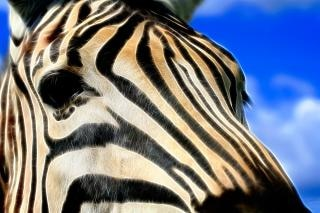 Zebra profil abstrakcyjne piękno