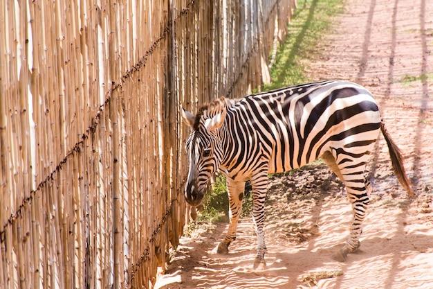 Zebra stała patrząc z dużego bambusowego ogrodzenia.