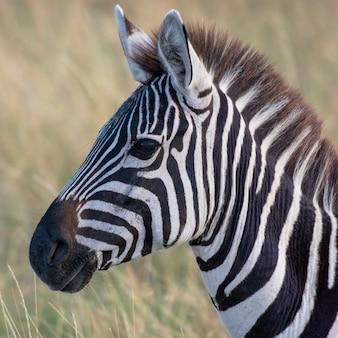 Zebra w afrykańskiej sawannie, w masai mara, kenia