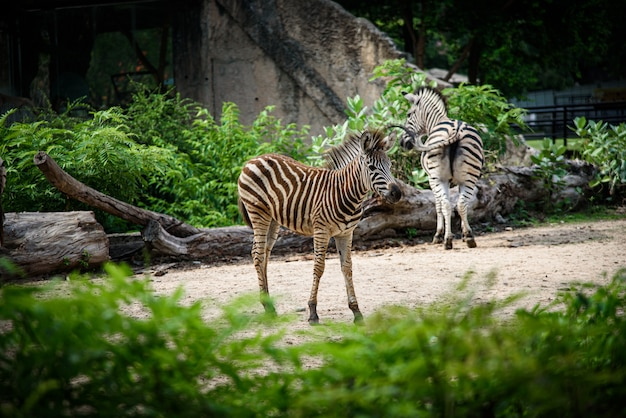 Zebra w klatce, afrykańska przyroda