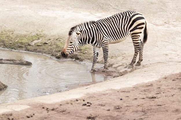 Zebra w pobliżu brudnego jeziora w słońcu