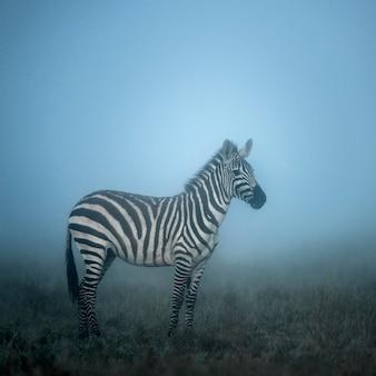 Zebra w porannej mgle, serengeti, afryka