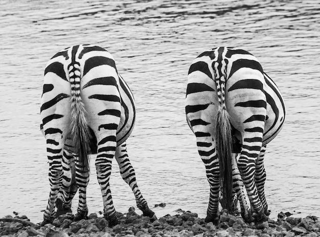 Zebra. widok z tyłu. kenia. tanzania. park narodowy. serengeti. masajowie mara.