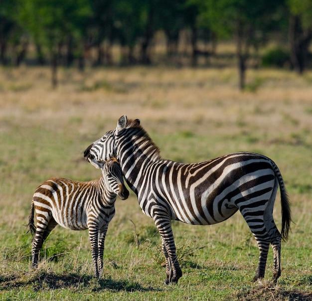 Zebra z dzieckiem. kenia. tanzania. park narodowy. serengeti. masajowie mara.