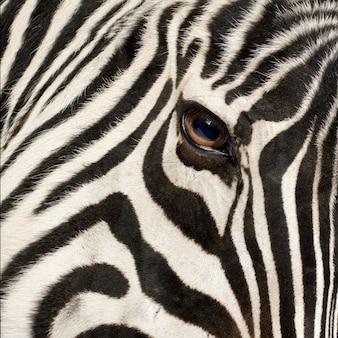 Zebra z przodu na białym tle