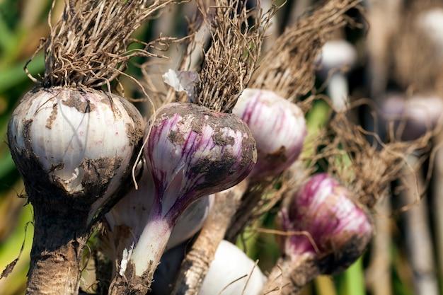 Zebrana uprawa czosnku w rolnictwie, uprawa czosnku ułożona na terenie pola do suszenia ziemi na roślinach