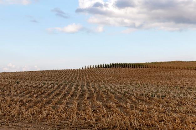Zebrane dojrzałe pola uprawne kukurydzy