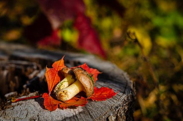 Zebrane dzikie jadalne tłuste grzyby leżące na pniu w lesie. ścieśniać,