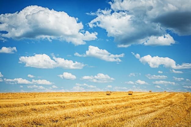 Zebrane pole pszenicy z pochmurnego nieba