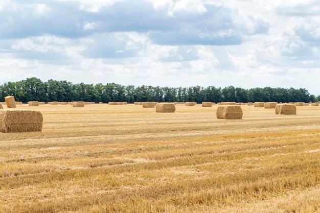Zebrane pole pszenicy zbożowej, ze stogami siana bele słomy stosy w kształcie prostokąta