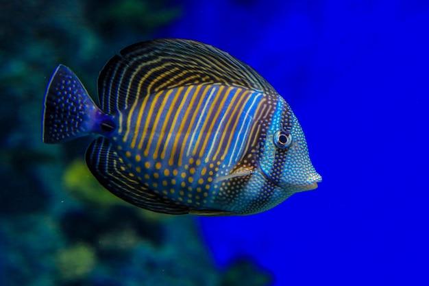 Zebrasoma desjardinii w niebieskiej wodzie na tle korali ryby zbliżenie widok z boku