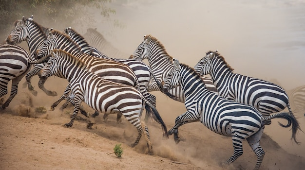 Zebry biegają po sawannie. kenia. tanzania. park narodowy. serengeti. masajowie mara.