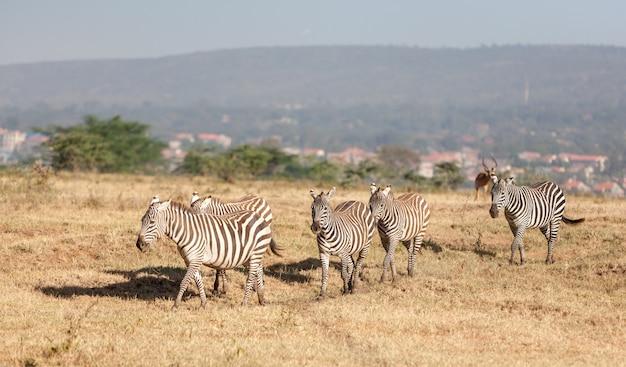 Zebry na łąkach