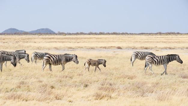Zebry pasące się w buszu, afrykańska sawanna. wildlife safari, park narodowy etosha, rezerwaty przyrody, namibia, afryka.